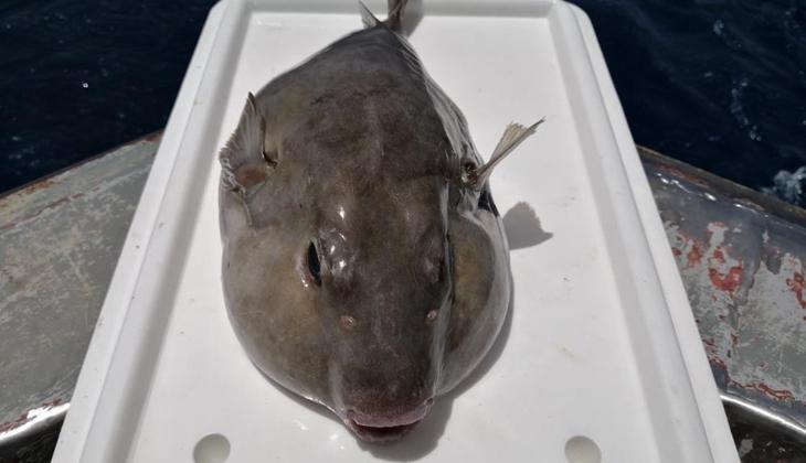 Balon balığı kuyruğu, balıkçıların yeni gelir kapısı oldu