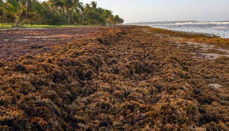 Dikili kıyılarında görülen Sargassum'un zararlı olmadığı belirtildi