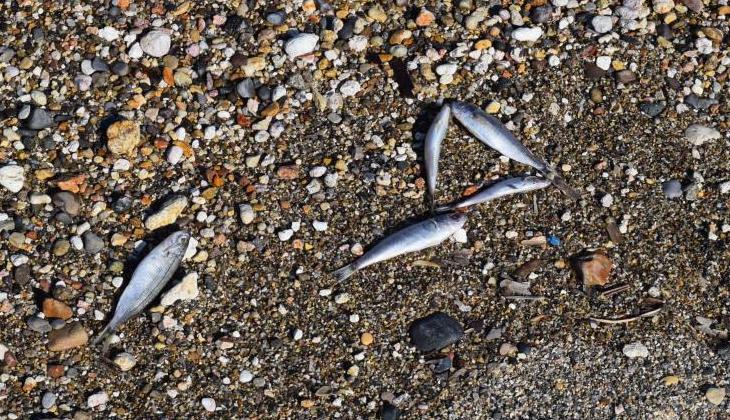 Foça'da ölü balıklar kıyıya vurdu