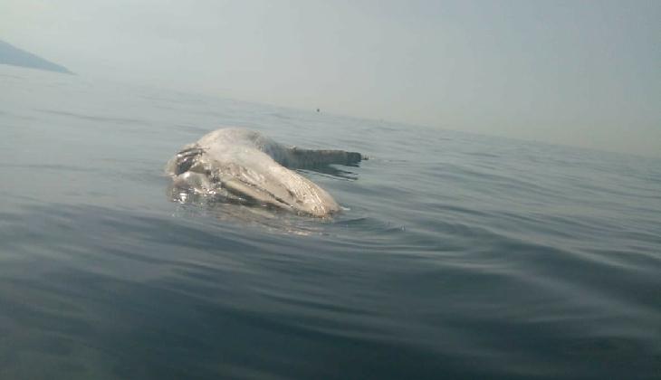 İskenderun Körfezi'nde ölü balinaya rastlandı